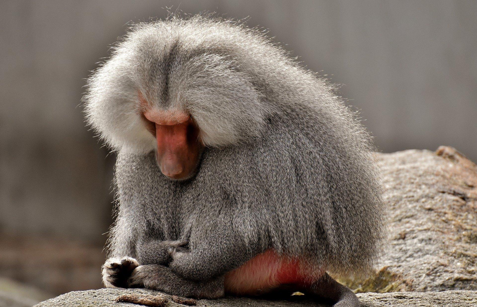 Fortschritte in der Transplantation pig hearts into baboons