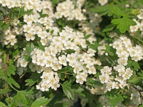 Weißdorn: Platz 1. der Arzneipflanzen im Jahr 2019