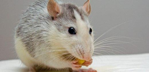 Fütterung juveniler Ratten extra omega-3-Fettsäuren und vitamin A gezeigt, zur Verringerung der negativen gesundheitlichen Auswirkungen von stress