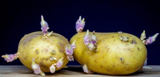 Grüne Stellen und Triebe – Bis wann sind Kartoffeln gesund oder schon giftig?