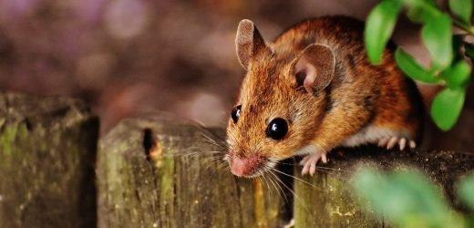 Alterungsprozess verzögert sich bei älteren Mäusen Blut-Komponente, die von den Jungen Mäusen