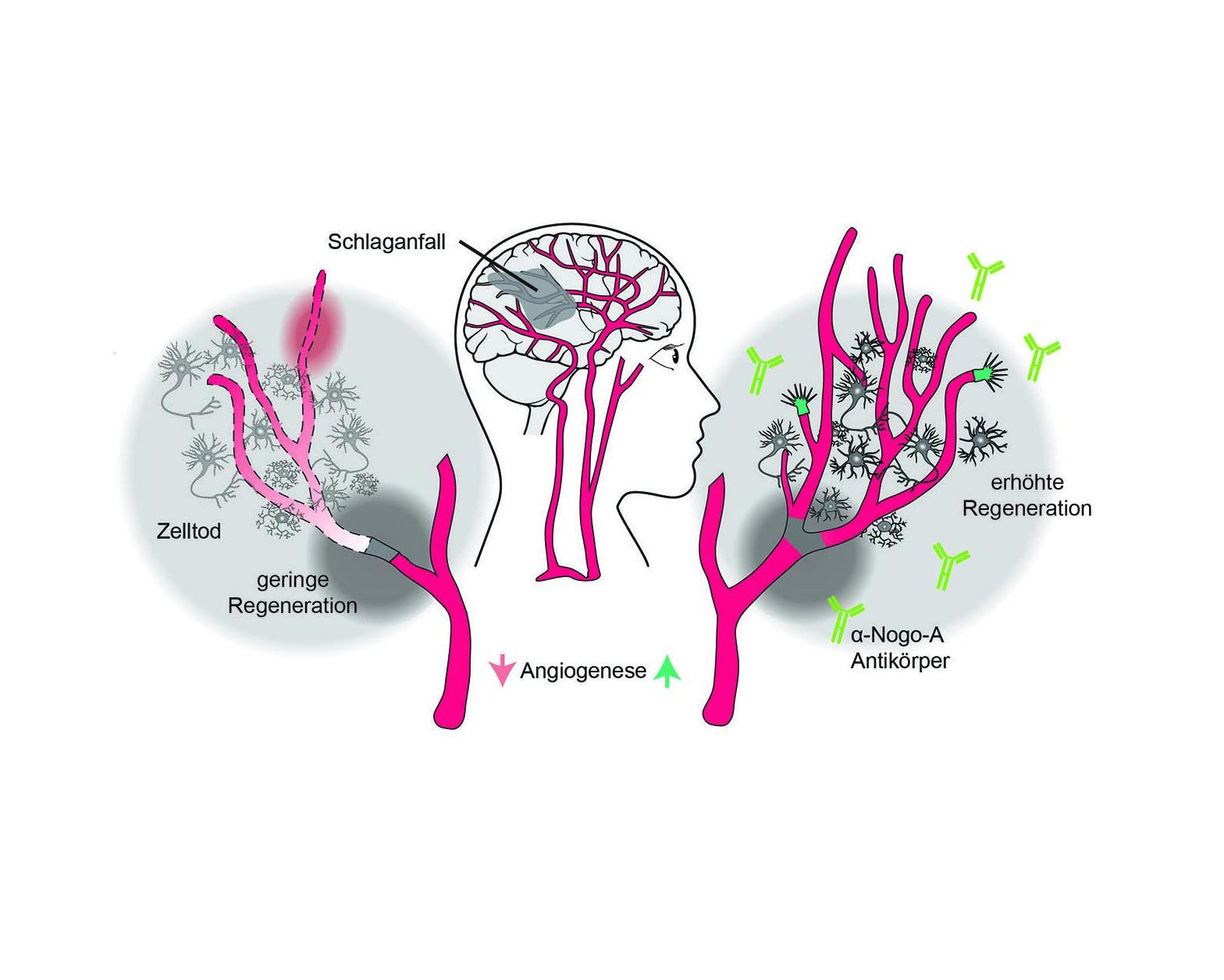 Neue Therapie fördert die vaskuläre Reparatur nach Schlaganfall
