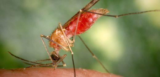 Quinn Ernährung: Enthält vitamin B-1 abstoßen Mücken?