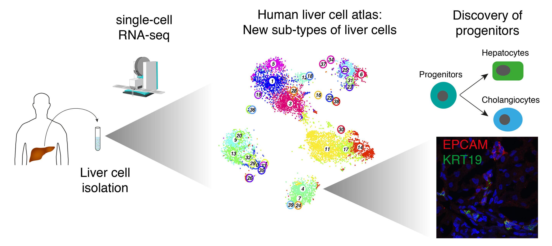 Wissenschaftler entdecken bisher unbekannten Subtypen von Leber-Zellen in Gesundheit und Krankheit