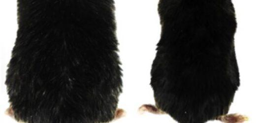 Gen-Therapie reduziert übergewicht und kehrt Typ-2-diabetes in Mäusen