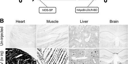 Neue AAV9 Gentherapie-Vektor-drastisch erhöht die Lebensdauer in der Krabbe-Krankheit-Maus-Modell