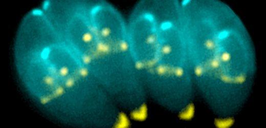 Parasit muss die Chemie (lipid – /Nährstoff) in der Katze Darm, die für sex