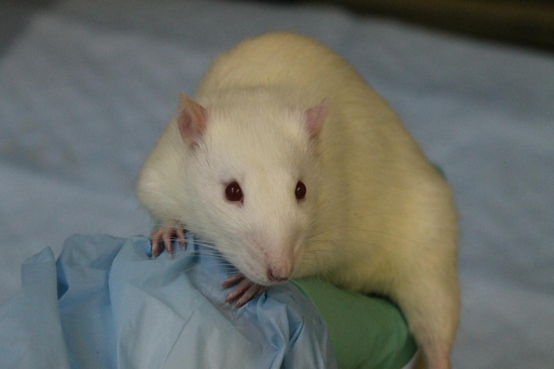 Gehirn-Schaltung steuert die einzelnen Antworten auf die Versuchung in Ratten
