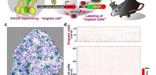 Entdeckung der neuronalen ensemble-Aktivitäten orchestriert zu repräsentieren, einem Speicher