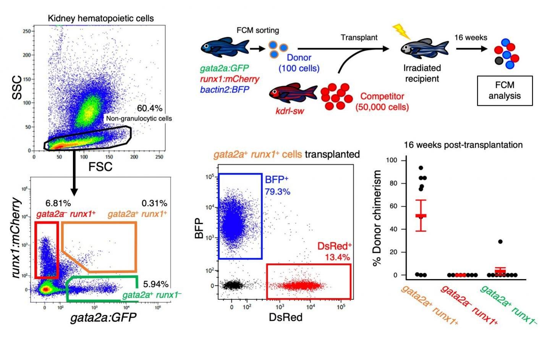 Forscher finden einen Weg, um zu erfassen, schwer fassbar Blut-Stammzellen aus Zebrafisch