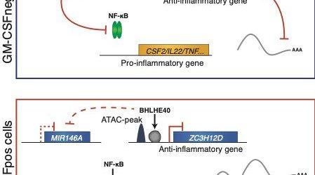 Ein molekulares Netzwerk zu balance entzündliche Programme in Immunzellen