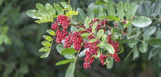 Pfefferbaum gegen Antibiotikaresistenz – Naturheilkunde & Naturheilverfahren Fachportal