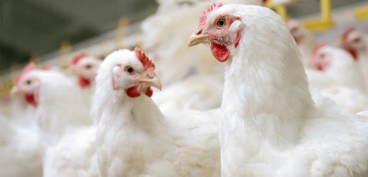 Die Schlacht um den Schutz für USDA Bio Tiere