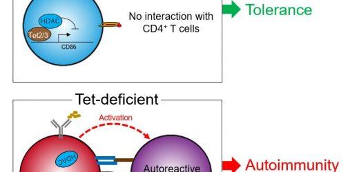Das protein, das steht zwischen uns und Autoimmunität