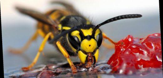 Bloß nicht pusten! Was wirklich gegen Wespen hilft